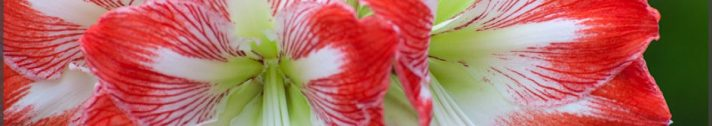 cropped-amaryllis_minerva_4.jpg